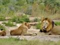 0829c Lioness, cub & lion rest-open area Kruger NP Safari 4-12-14. GW