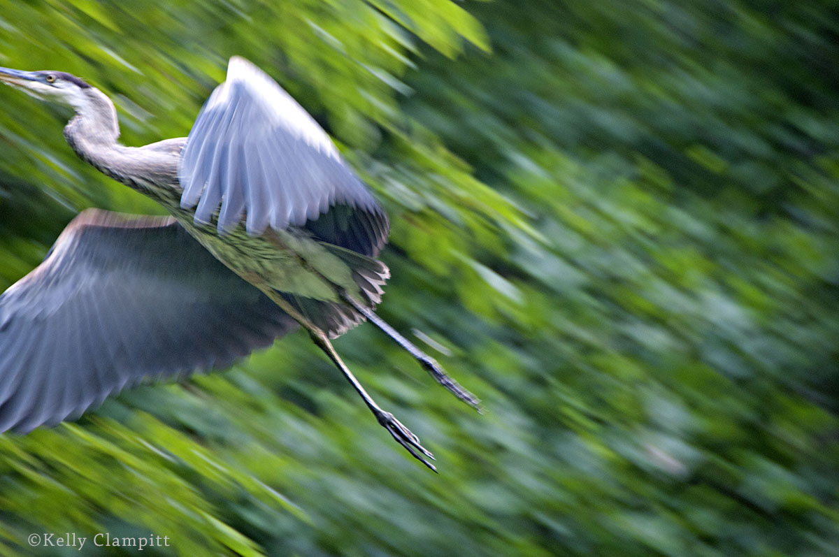 Kelly Clampitt-Heron in Flight
