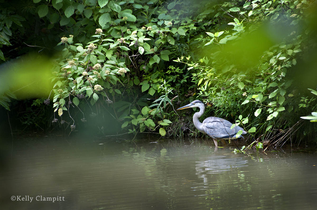 Kelly Clampitt - Heron at Rest
